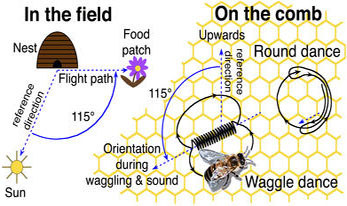 Diagram of Honeybee Dance from TopNews.in